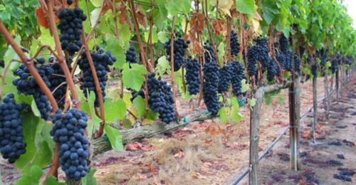 Азербайджанские виноделы выходят на китайский рынок